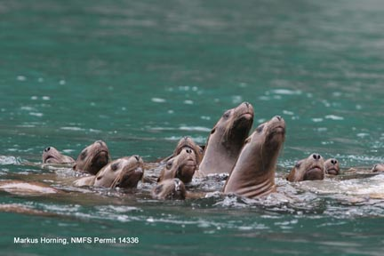 Group of young Steller sea lions floating on water surface